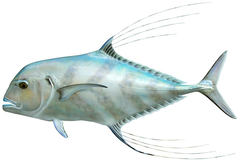 African_Pompano_Guidesly1