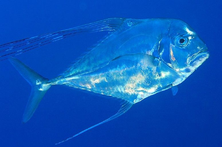 African_Pompano_Guidesly3