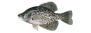Black CrappieFish