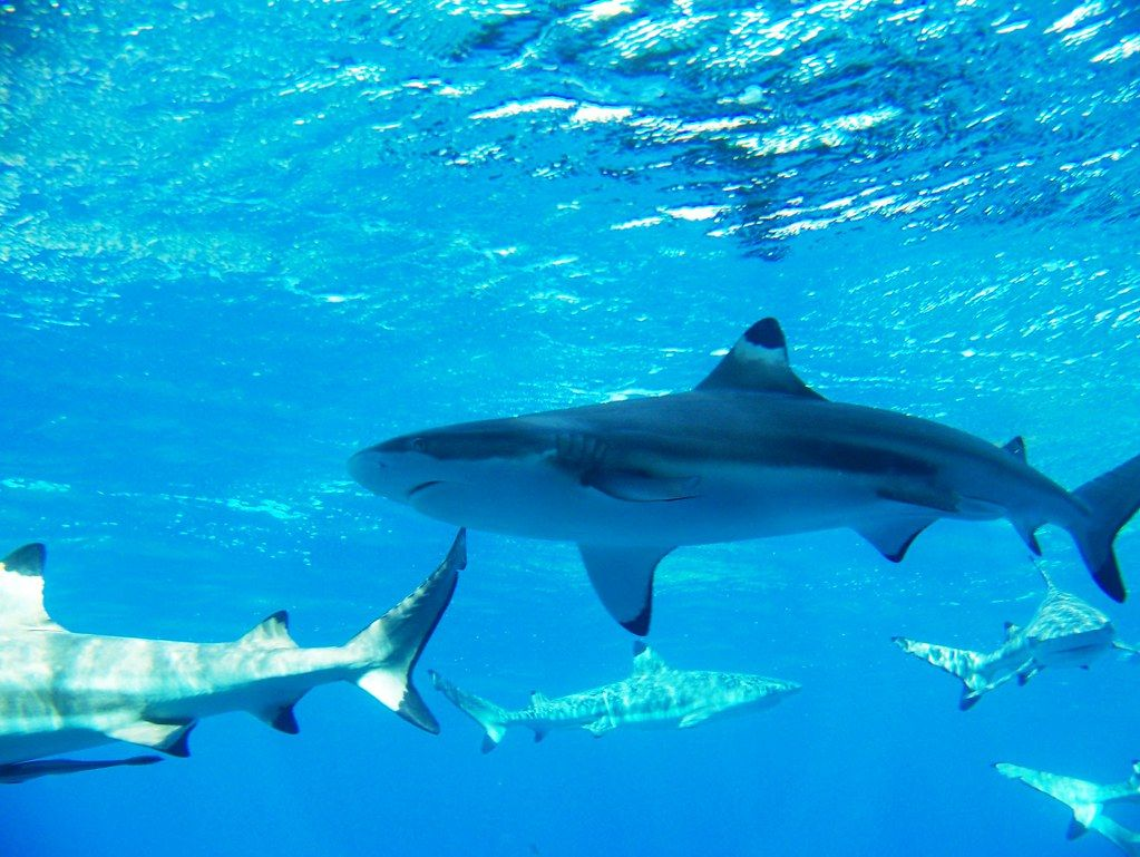 """sharks off moorea"" by tyler corder is licensed under CC BY-ND 2.0"