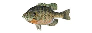 BluegillFish