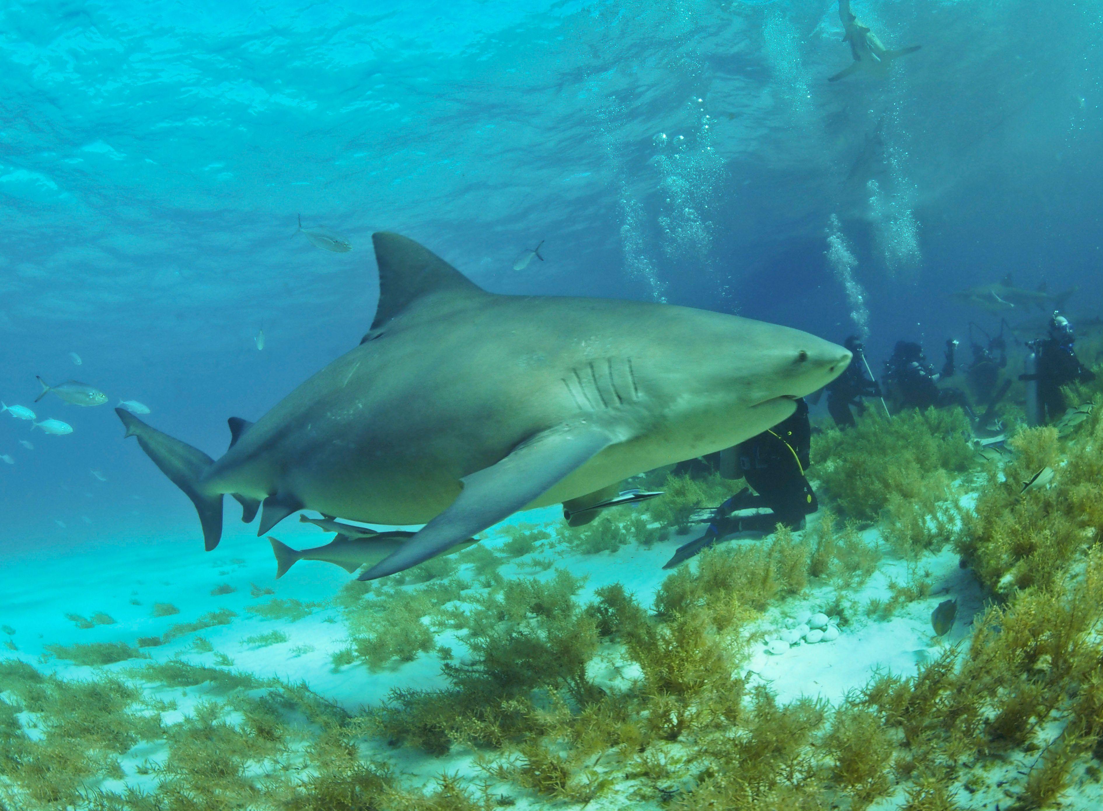 Bullshark_Bahamas2