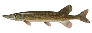 Chain PickerelFish