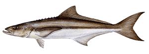 CobiaFish