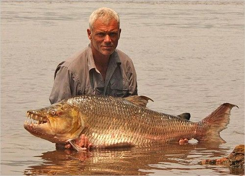"""""""Goliath Tigerfish (hydrocynus goliath)"""" by Media News is licensed under CC BY 2.0"""