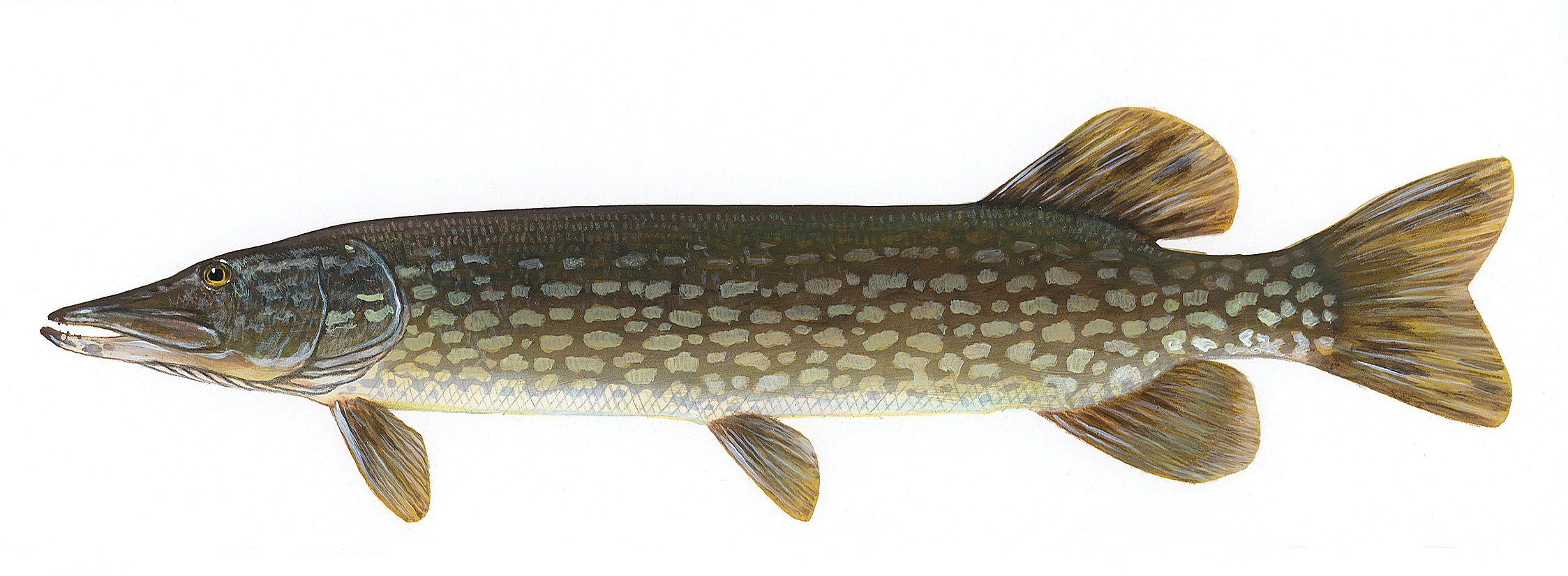 Northern Pike Fish Species