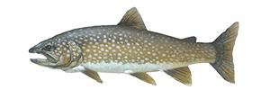 Lake TroutFish