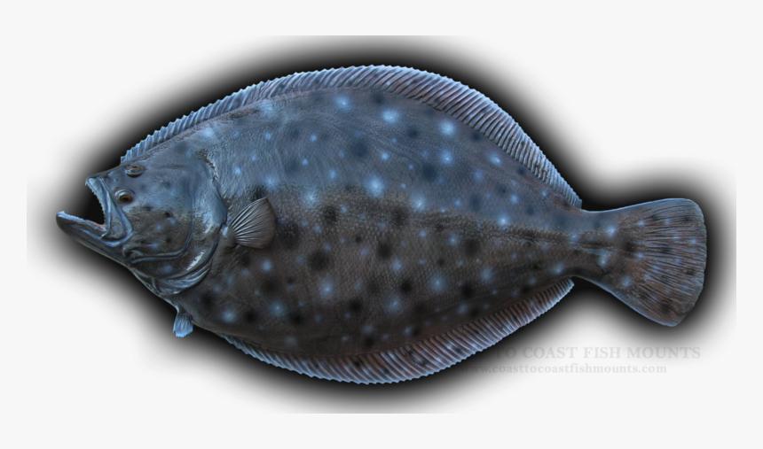 Summer Flounder 2
