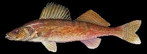 Arctic CharFish