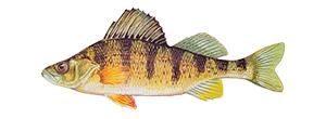 American Yellow PerchFish