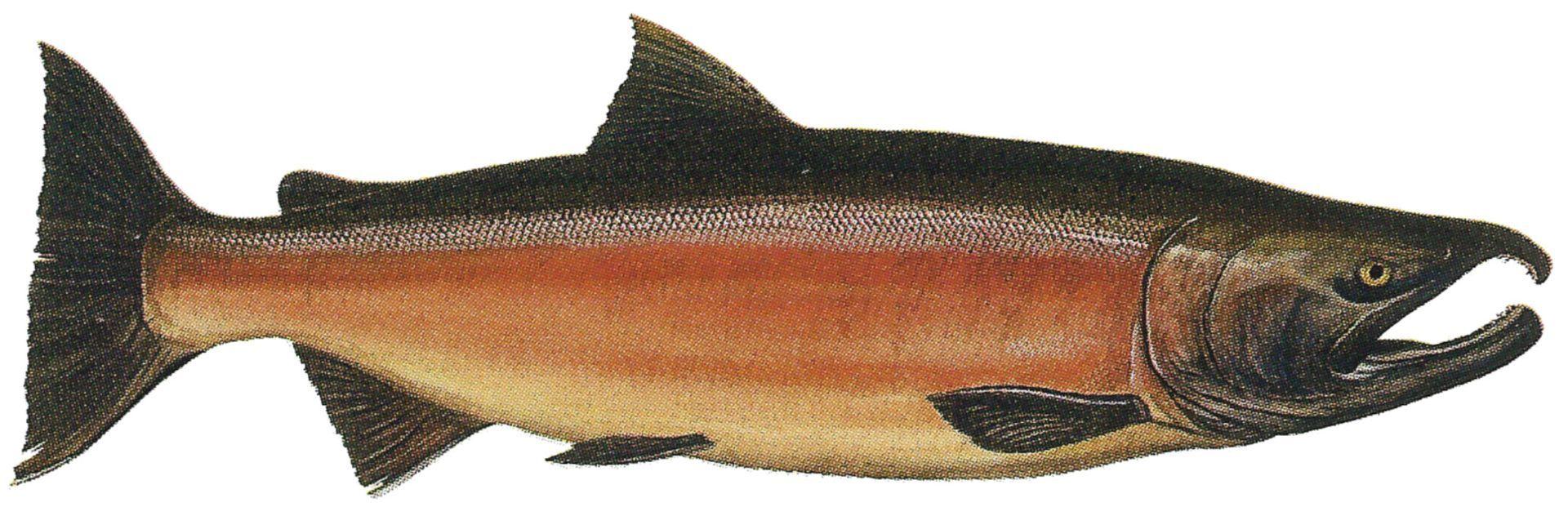 coho_male_freshwater